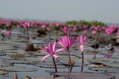 Море розового лотоса, Nonghan, Udonthani, Таиланда, невиденного в Таиланде стоковое изображение