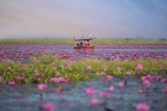 Море розового лотоса, Nonghan, Udonthani, Таиланда, невиденного в Таиланде стоковые изображения rf