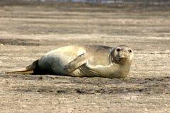 море слона Стоковое Фото