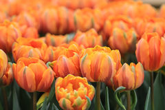 Море тюльпанов оранжевого красного цвета Стоковое фото RF