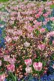 Море тюльпанов стоковые изображения rf