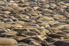 Море уплотнений слона Стоковая Фотография