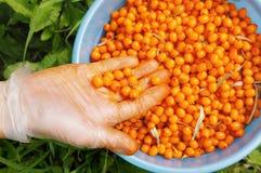 море урожая крушины ягод Стоковая Фотография RF