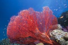 море Фиджи вентилятора стоковое изображение
