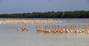Море фламинго Стоковые Фотографии RF