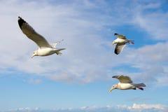 море чаек стаи Стоковые Фотографии RF