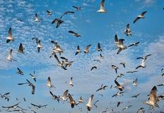 море чаек стаи Стоковые Изображения RF