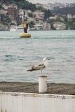 Море чайки готовя против вида на город Стоковые Изображения