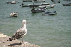 Море чайки готовя Стоковое Изображение RF