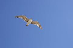 море чайки Стоковые Фото