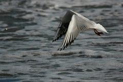 море чайки Стоковые Фотографии RF