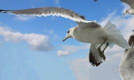 море чайки Стоковое Фото