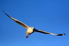 море чайки Стоковое Изображение