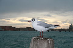 море чайки Стоковая Фотография