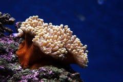 море anenome Стоковое Изображение