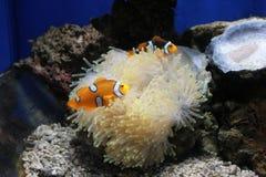 море clownfish ветреницы Стоковые Изображения