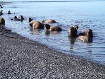 Море Laptev моржей акции видеоматериалы