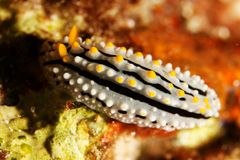 море phyllidia alita andaman Стоковое Изображение RF