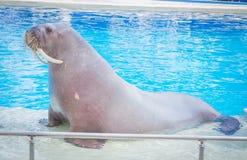 Морж в бассейне на морские млекопитающие показывает стоковые фотографии rf