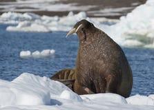 Морж на подаче льда стоковое фото rf
