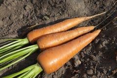 Моркови в руке Стоковое Фото