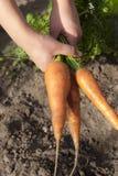 Моркови в руке Стоковая Фотография