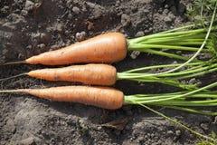 моркови закрывают вверх Стоковая Фотография RF