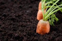 моркови зарывают свежую Стоковые Фотографии RF
