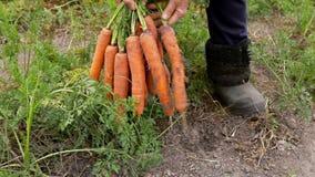 Моркови рудоразборки фермера и показывают ее сбор сток-видео