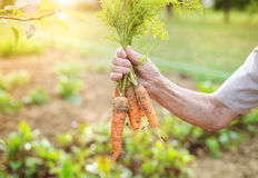 моркови старшую женщину Стоковые Изображения RF