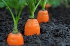 моркови Стоковое Фото