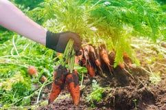 Морковь в руках фермера r Растя органические овощи Свежо сжатые моркови Земледелие сбора лета стоковые изображения rf