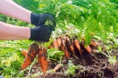 Морковь в руках фермера r Растя органические овощи Свежо сжатые моркови Земледелие сбора лета стоковое фото