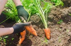 Морковь в руках фермера r Растя органические овощи Свежо сжатые моркови Земледелие сбора лета стоковые изображения
