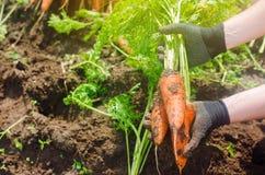Морковь в руках фермера r Растя органические овощи Свежо сжатые моркови Земледелие сбора лета стоковое изображение rf
