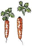 морковь покидает корень Стоковая Фотография