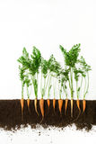 морковь Растущий завод изолированный на белой предпосылке Стоковые Фотографии RF