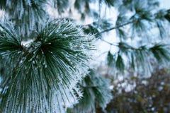 Морозная сосна Стоковая Фотография