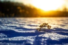 Морозная трава на заходе солнца зимы зима белизны снежинок предпосылки голубая стоковая фотография