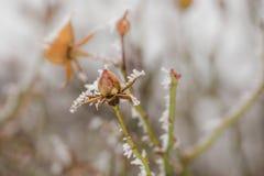 Морозные вянуть розы Стоковые Изображения RF
