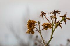 Морозные вянуть розы Стоковое Фото