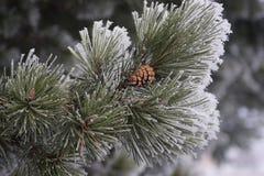 Морозные иглы Стоковое Фото