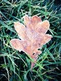 морозные листья Стоковое Изображение