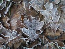 морозные листья Стоковая Фотография