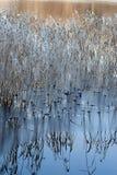 Морозные тростники и тонко морозят стоковая фотография