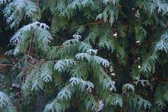 Морозный кипарис Стоковая Фотография