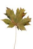 морозный клен листьев стоковые фото