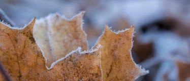 морозный клен листьев Стоковая Фотография