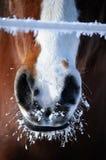 морозный рот лошади Стоковая Фотография RF