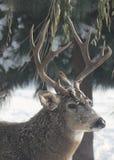 Морозный самец оленя Стоковое Изображение RF